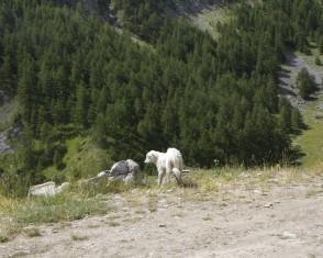 Cane da pastore Maremmano-Abruzzese