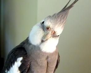 Cockatiel Hero